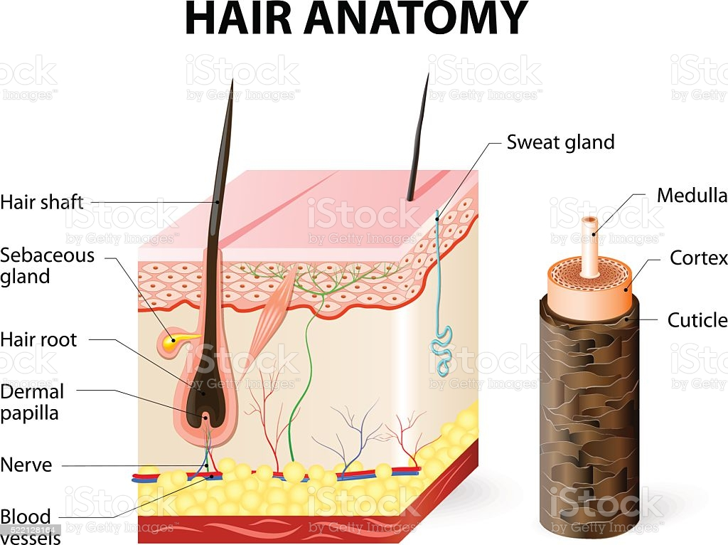 Hair Diagram – What Are They And Do They Work?