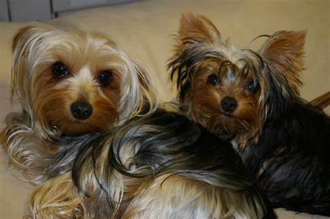 Long Hair Design Ideas For Your Yorkie Puppy