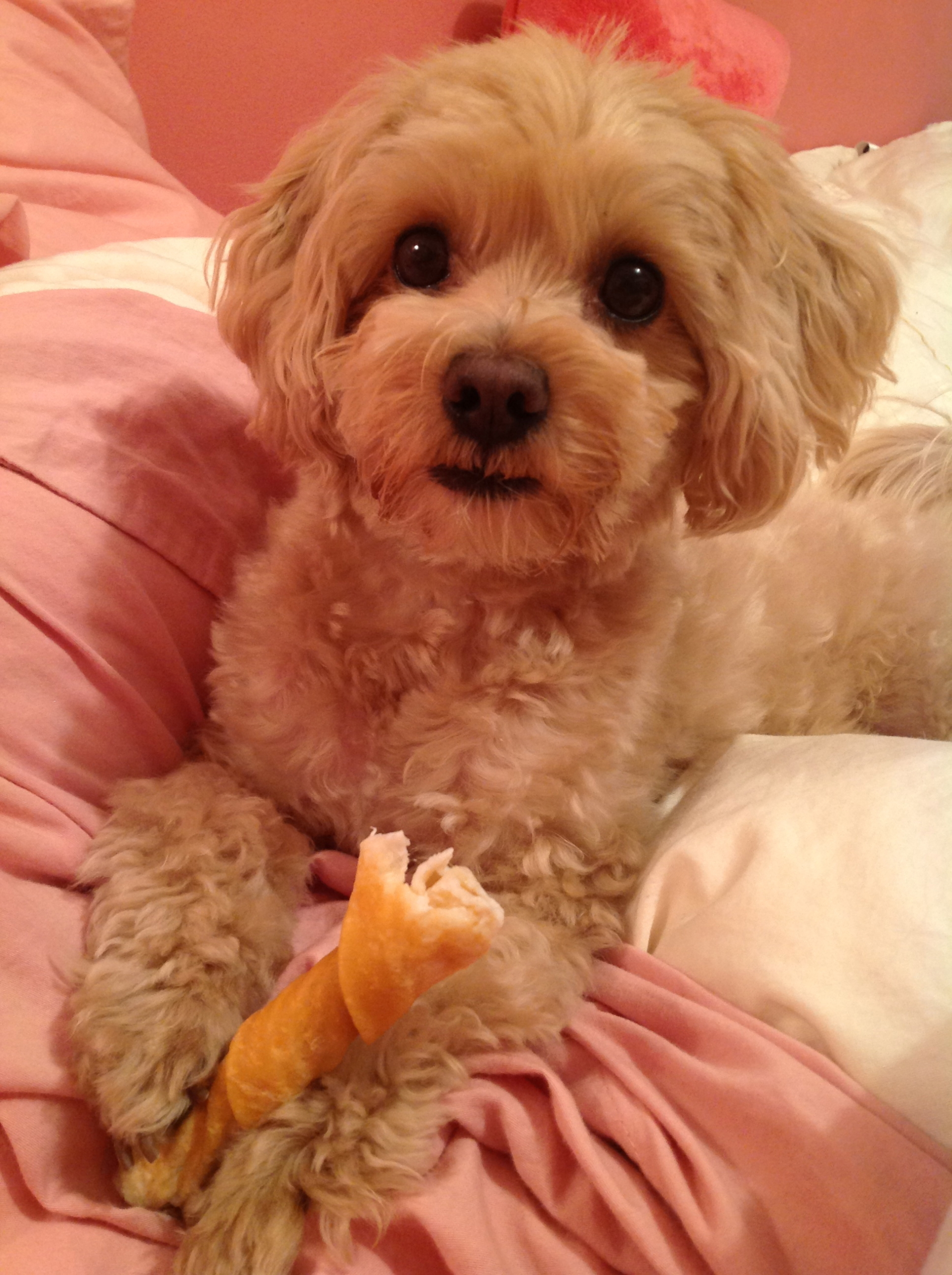 Most Popular Maltipoo Haircuts of All