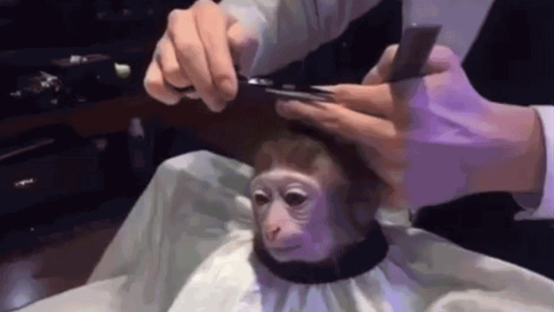 What To Expect After You Get A Monkey Getting Haircut