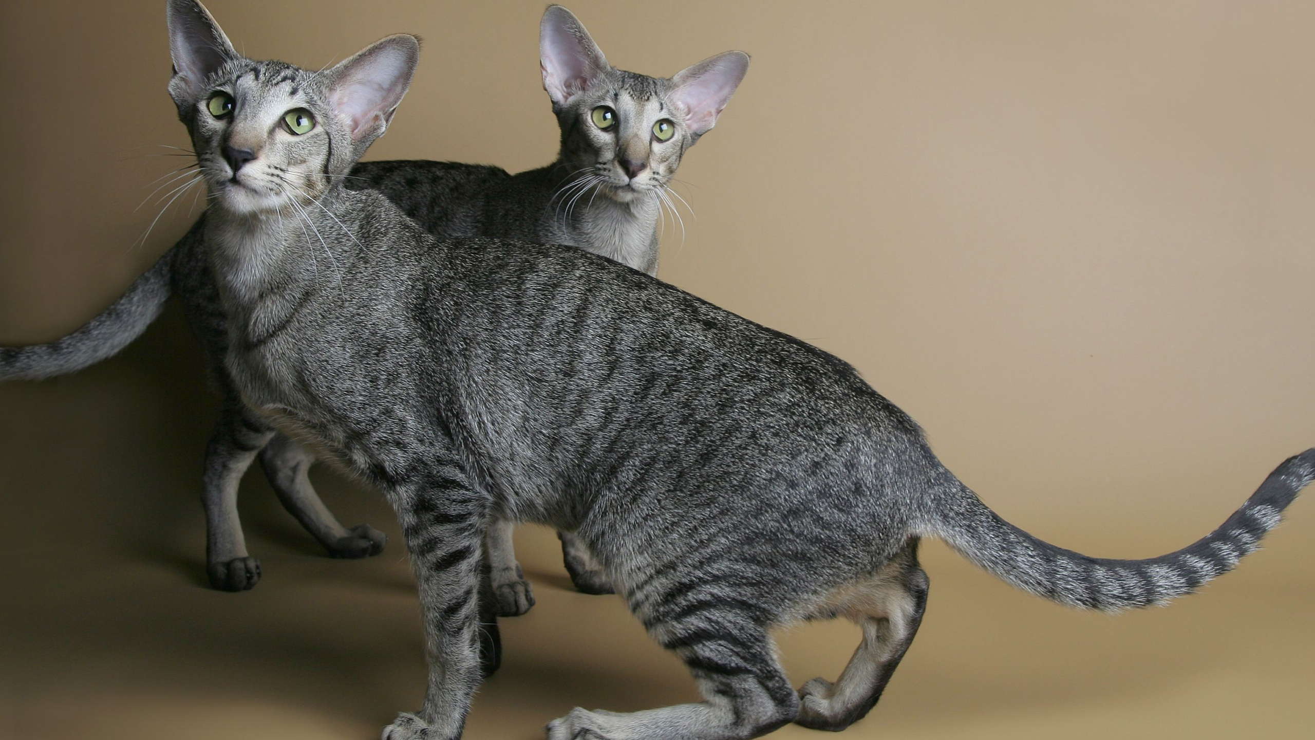 5 Great Model Ideas for Oriental Shorthair Price