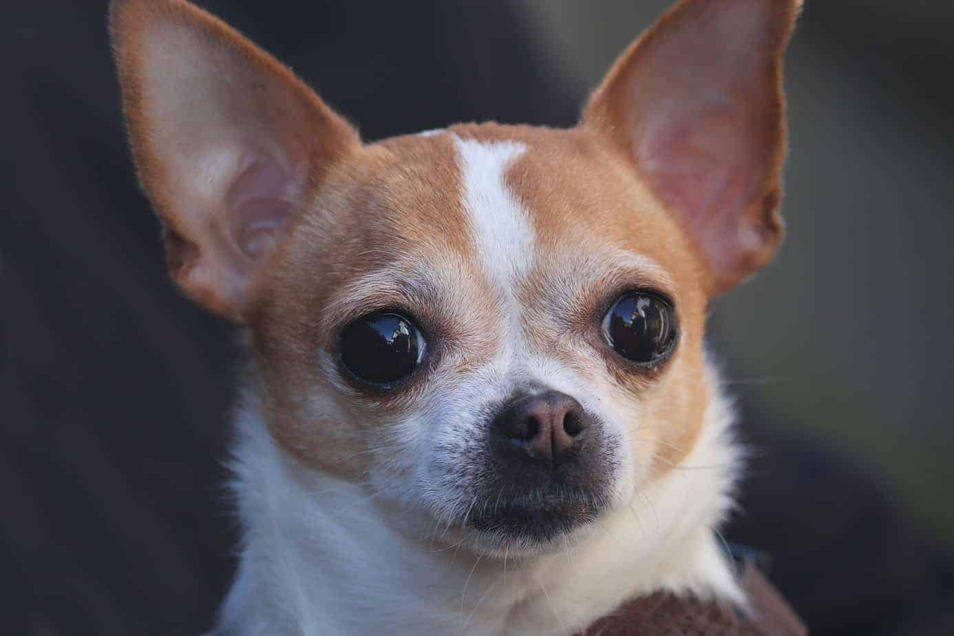 Short Hair Chihuahua Care Lesson 1 – Dealing With Shedding