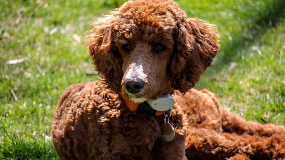 Choosing The Right Standard Poodle Haircuts