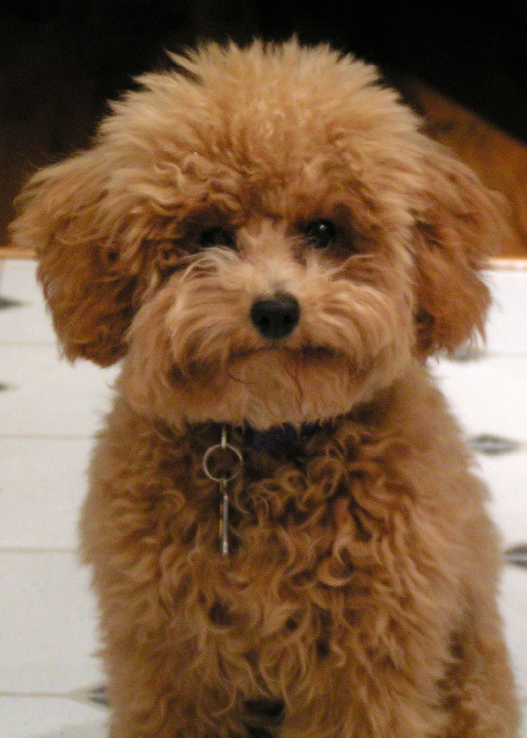 Toy Poodle Haircuts – How to Choose the Best Style For Your Toy Poodle