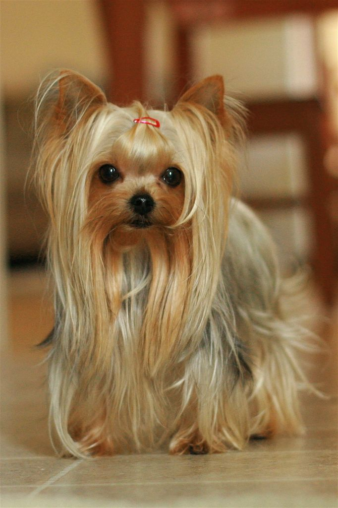 Top Yorkie Hairstyles Ideas for Dog