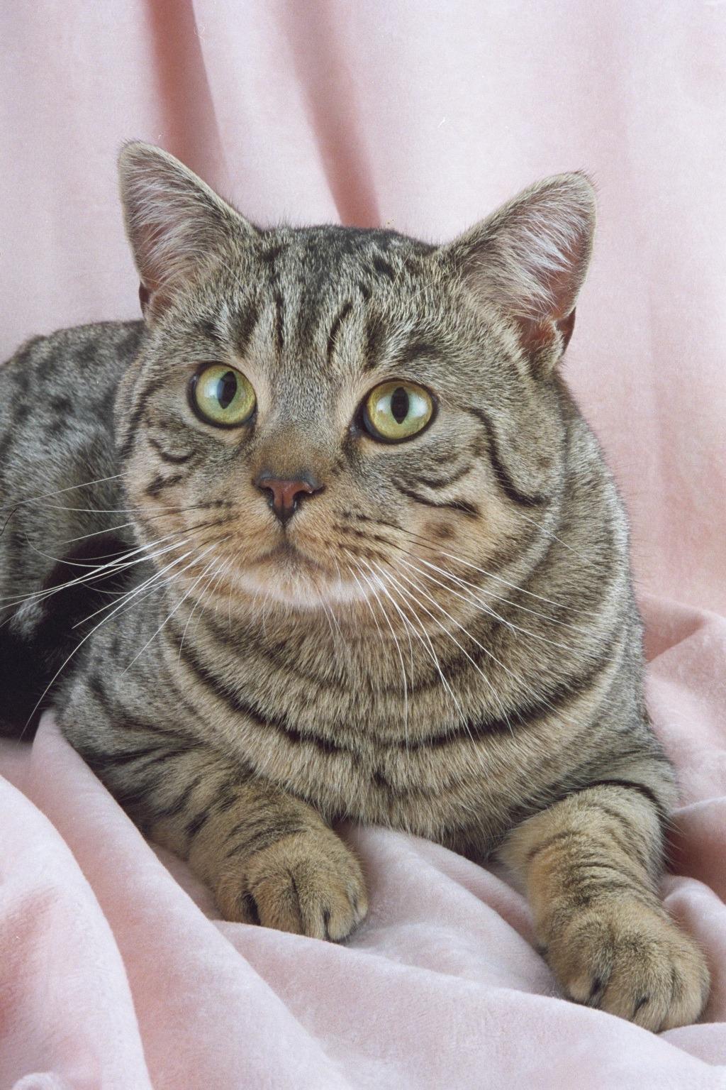Modern Design Ideas for the British Shorthair Tabby Cat