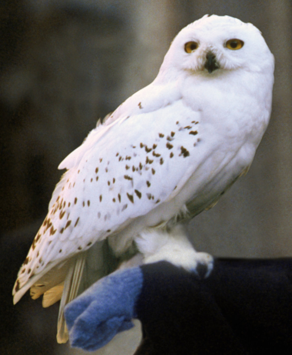Top 3 Hairy hedwig owl Ideas