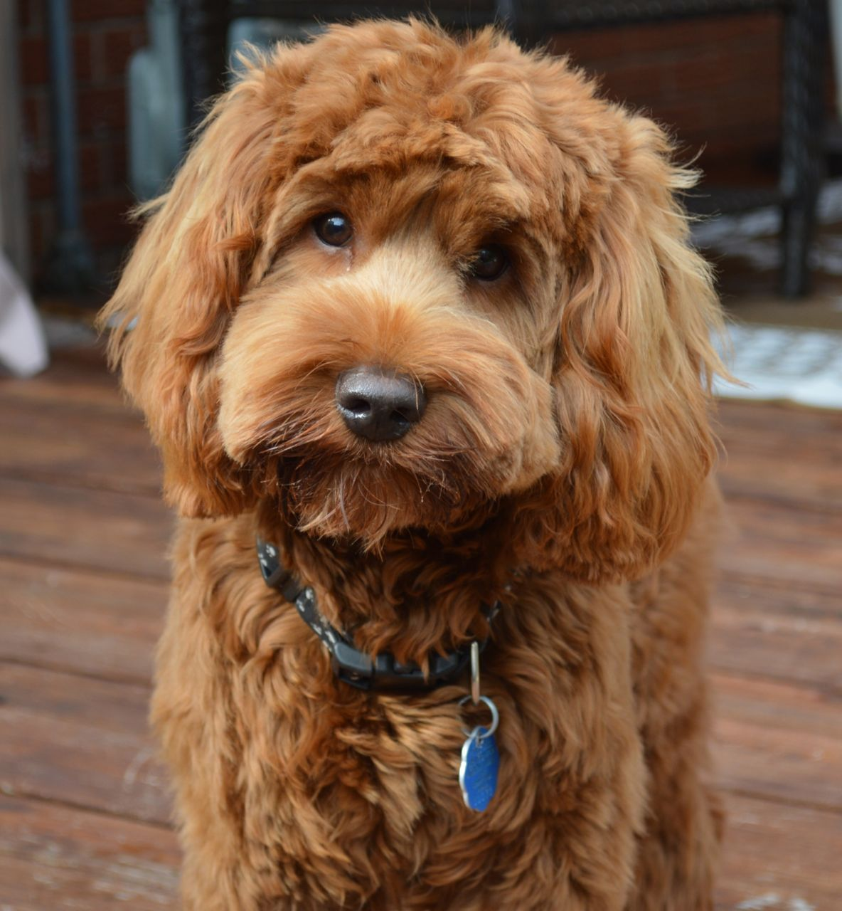 Choosing Between Labradoodle Haircuts For Your Puppy