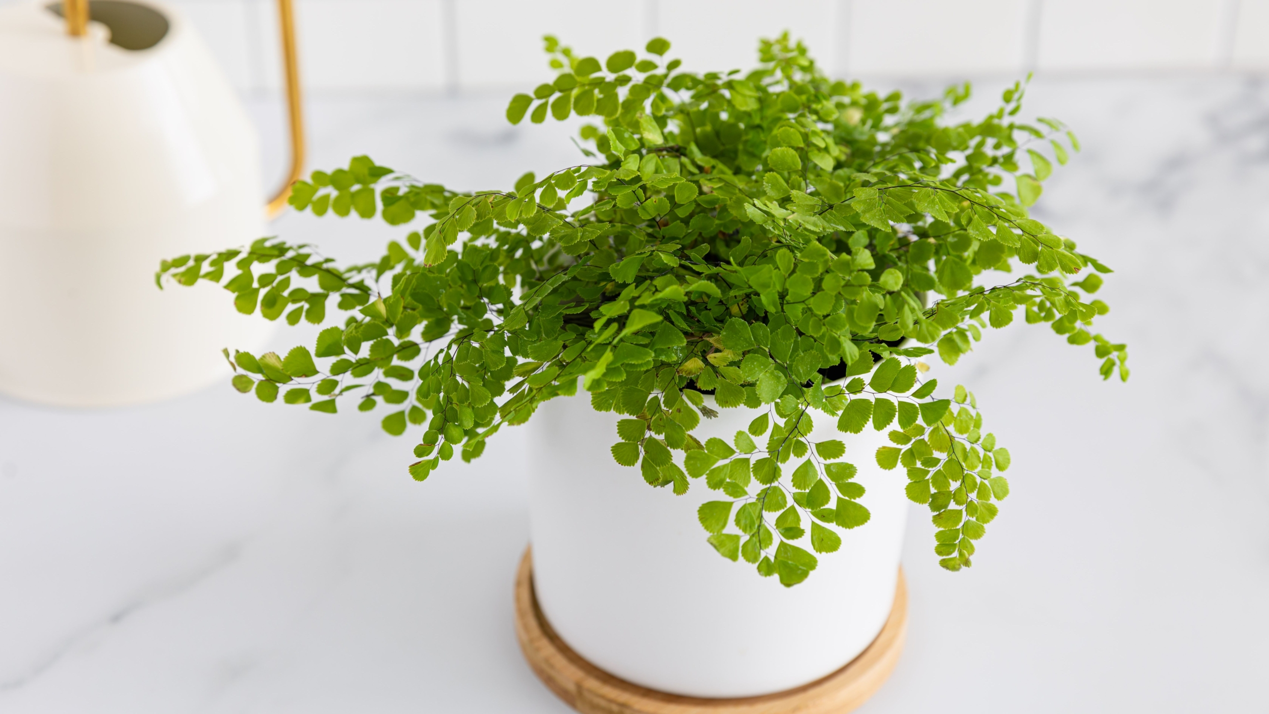How to Take Care of a Maidenhair Fern