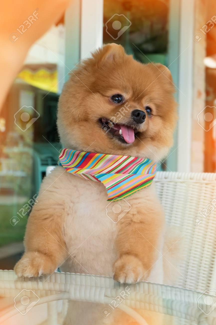 Pomeranian Short Hair Idea