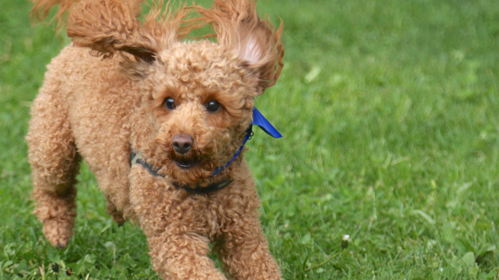 Toy Poodle with Long Hair Design Ideas