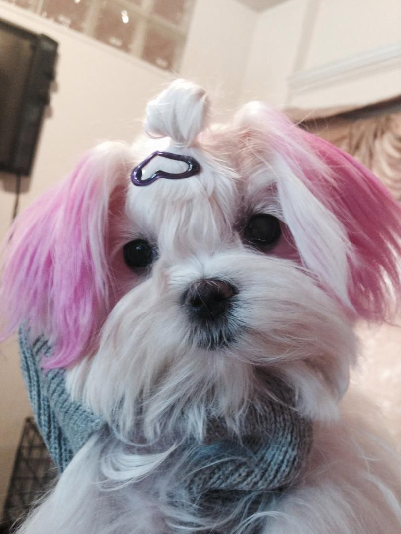 The Three Most Beautiful Styles For Your Shih Tzu Long Hair