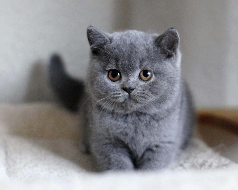 Short Hair Kittens